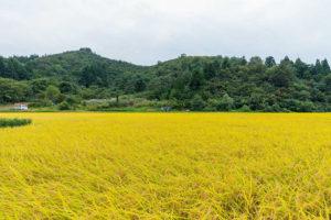 「北魚沼の旬米コシヒカリ」稲刈りが始まりました。