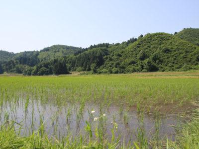 旬米コシヒカリ順調に育っています