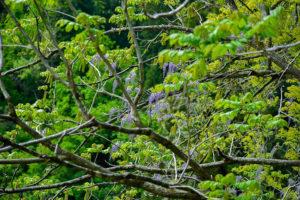 北魚沼、野生のフジの花が満開です!
